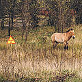 Ein Przewalski-Pferd nahe Tschernobyl. Foto: Michael Kötter (2013), creativecommons.org/licenses/by-nc-sa/2.0